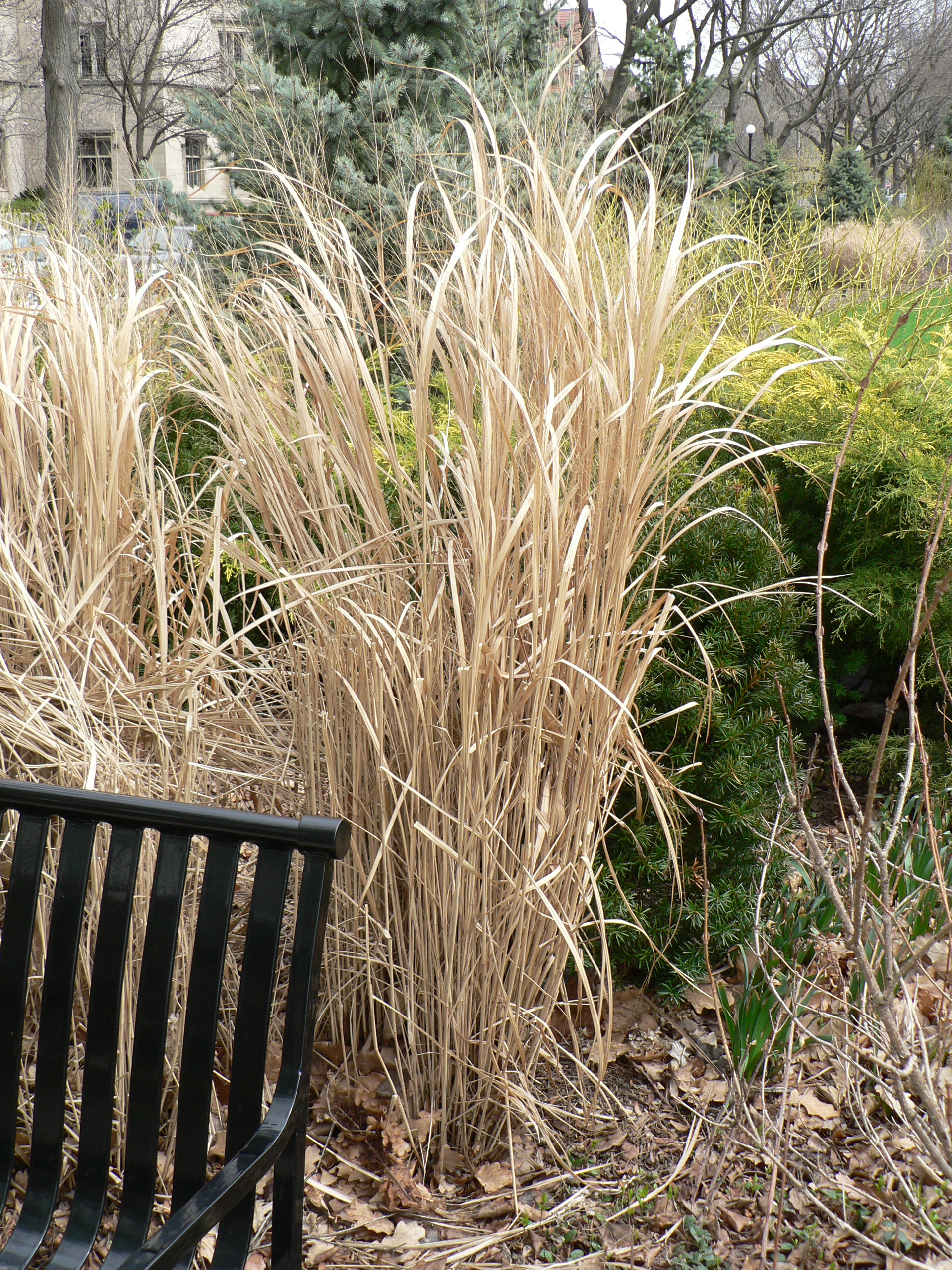 Tall grass plants images galleries for Tall grass garden